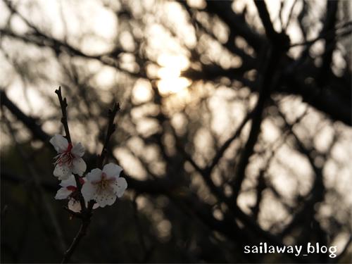 sakura_2007.jpg
