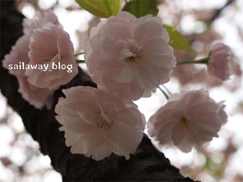 sakura_200803.jpg